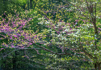 Redbud and Dogwood